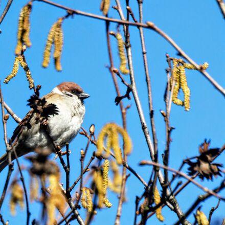 bird, sparrow, Nikon D3200