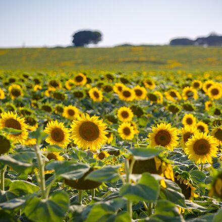 sunflower, sun, summer, Canon EOS 6D MARK II