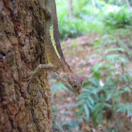lizard, japalura, dragon lizard, Nikon COOLPIX S5100
