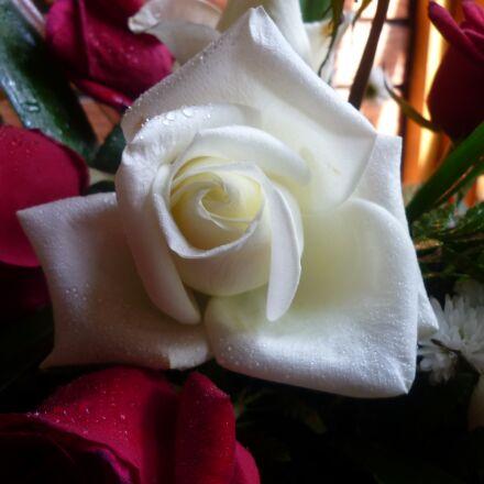 rosa, white, texture, Panasonic DMC-LS85