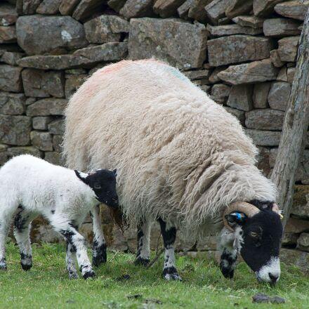 sheep, lamb, dalesbred, Pentax K-50