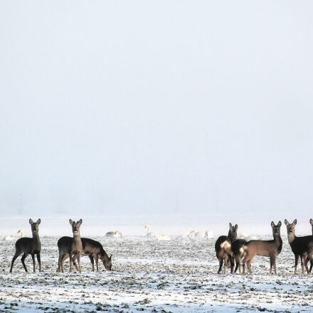 winter, snow, deer, Canon EOS 1100D