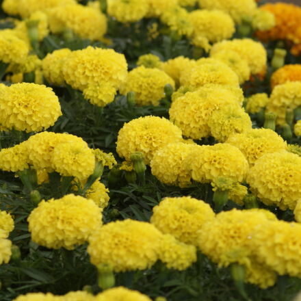 farm, farmer, flower, flowers, Sony DSLR-A230
