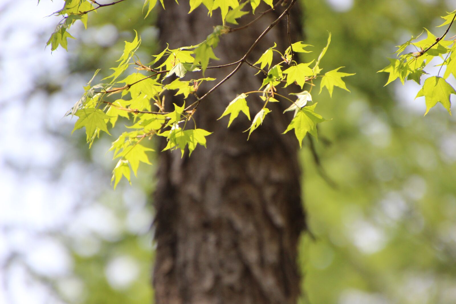 """Canon EOS 600D (Rebel EOS T3i / EOS Kiss X5) sample photo. """"Nature, maple, leaves"""" photography"""