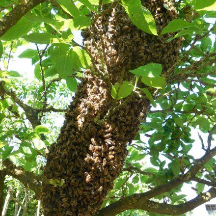hive, bees, tree, Nikon COOLPIX S5200