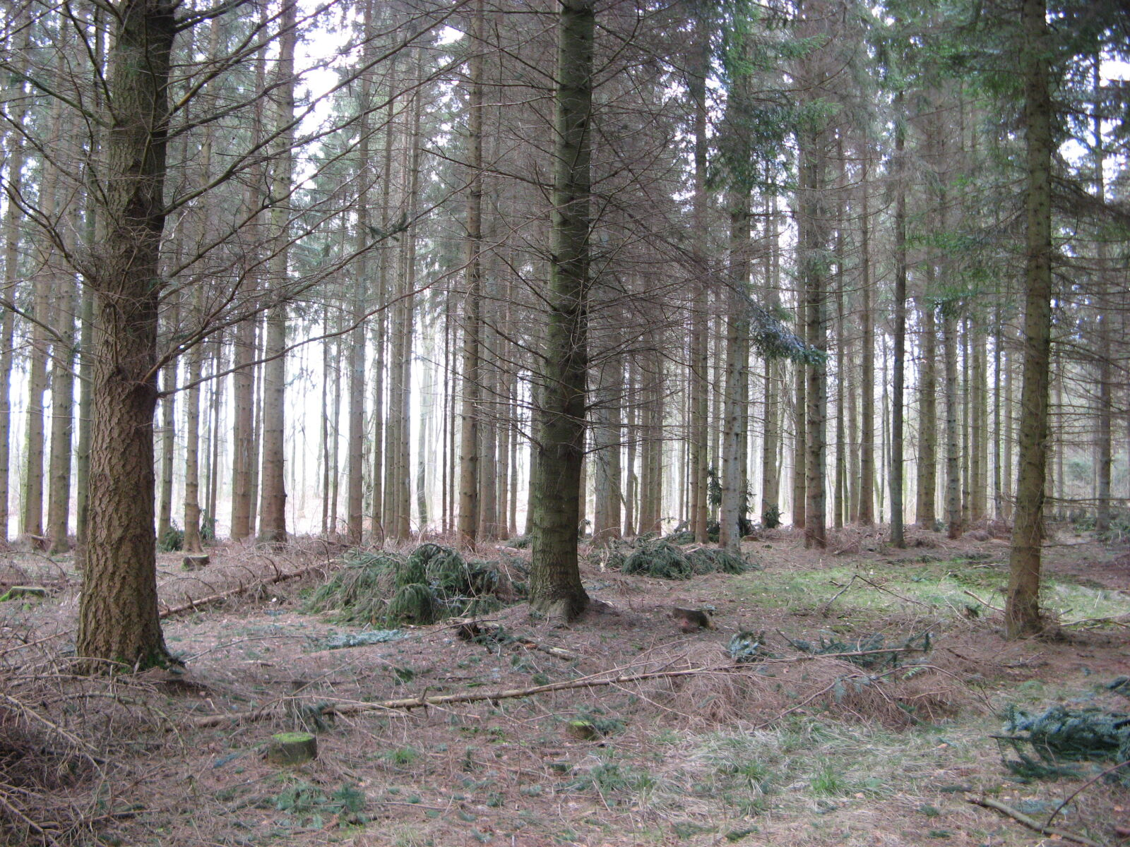 conifers, environment, fir, trees