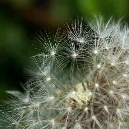 dandelion, seeds, macro, Canon EOS 6D