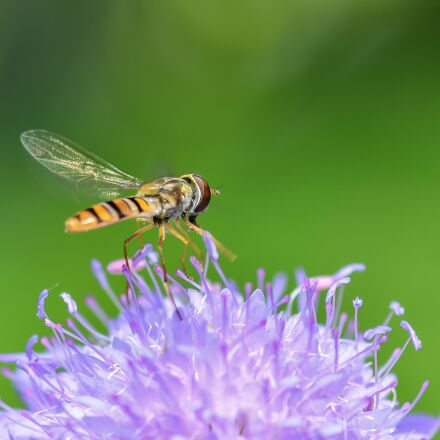 hoverfly, insect, flower, Nikon D500