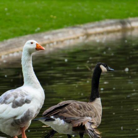 geese, duck, pond, Panasonic DMC-GH4