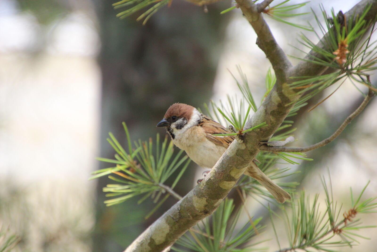 """Canon EOS 600D (Rebel EOS T3i / EOS Kiss X5) sample photo. """"Branch, bird, sparrow"""" photography"""