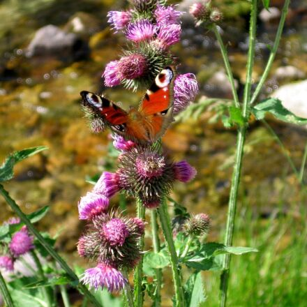 butterfly, river, flower, Canon POWERSHOT A520
