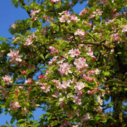 apple tree blossom, apple, Sony SLT-A99V