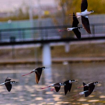black, necked, stilt, Nikon D7100