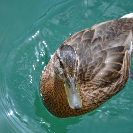 bird, duck, duck, bird, Nikon D3100