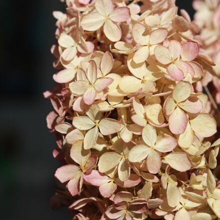 hydrangea, flower, dried-up, Canon EOS 60D