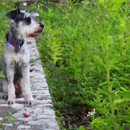 dog, flowers, schnauzer, Canon EOS REBEL T5I