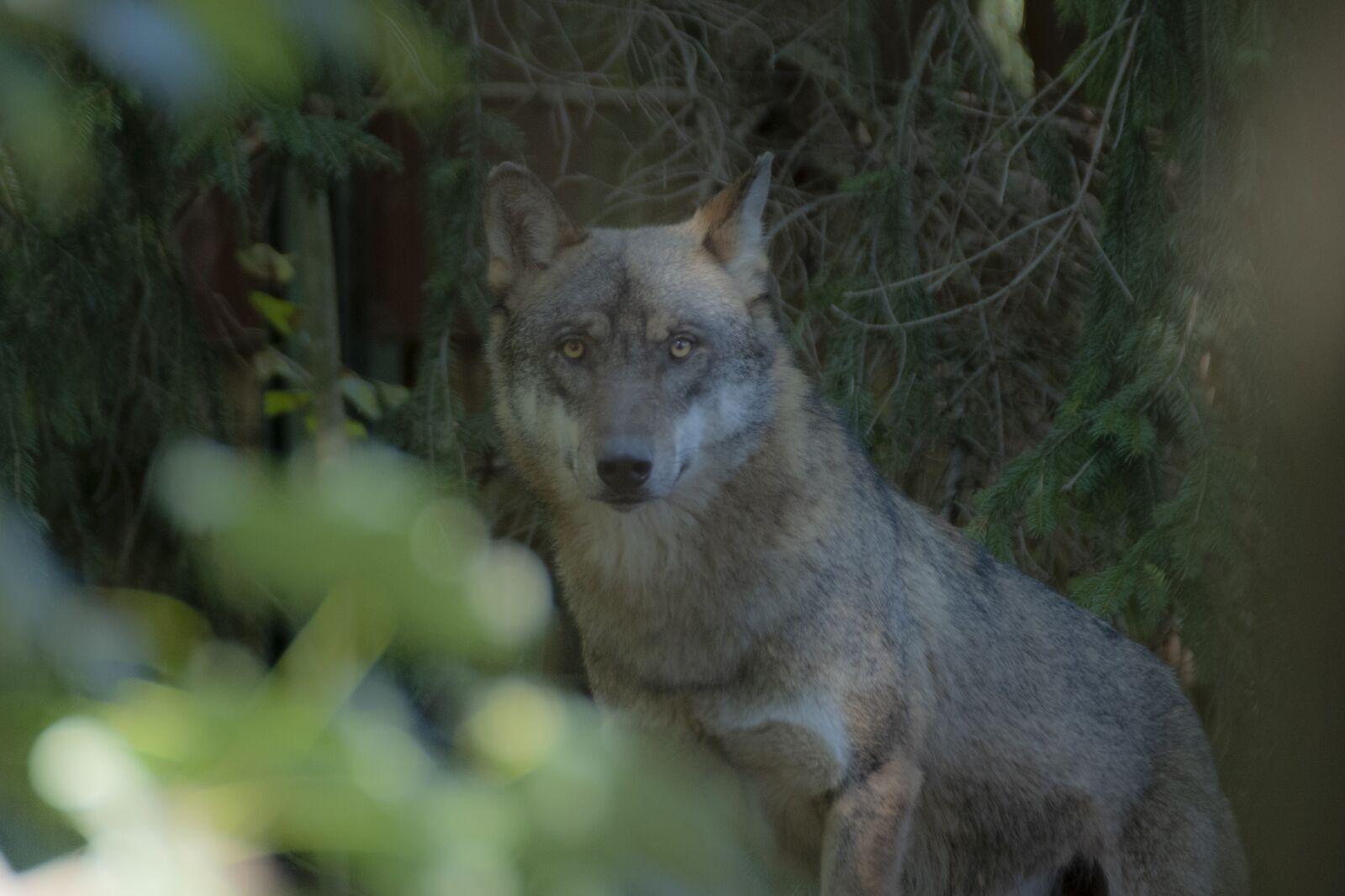 "Nikon D750 sample photo. ""Wildlife, wolf, nature"" photography"