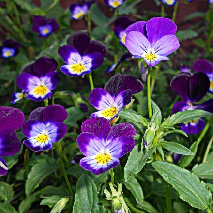 pansy, flower, flora, Nikon COOLPIX S2600