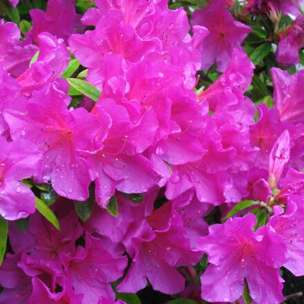 may, azalea, pink, Canon IXY DIGITAL 800 IS
