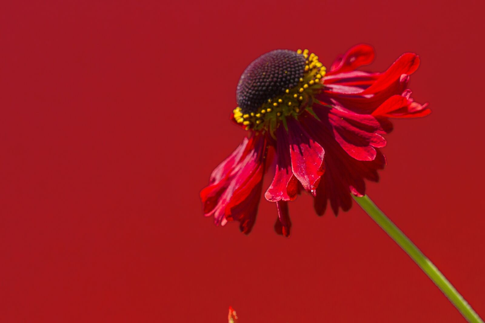 """Canon EOS 7D sample photo. """"Flower, red, love"""" photography"""