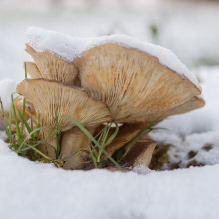 brown, mushroom, on, snow, Sony SLT-A58