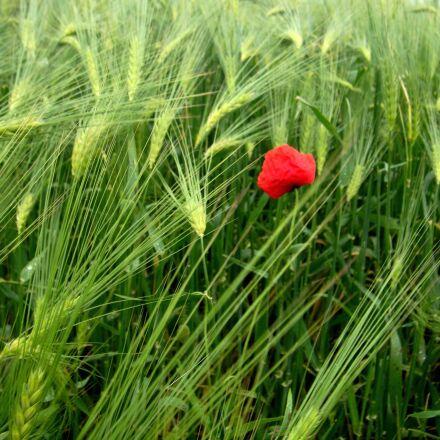 flower, field, red, Sony DSC-T700