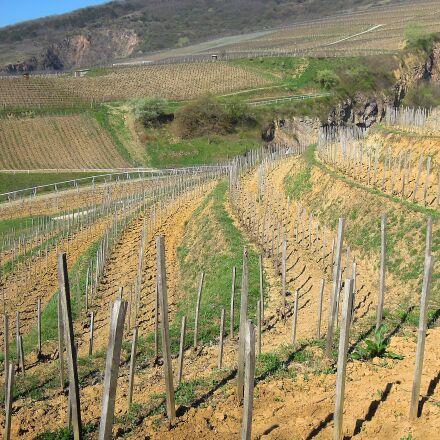vineyard, grape, spring, Nikon COOLPIX P300