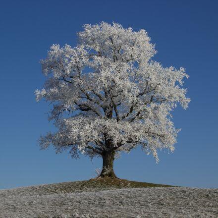hoarfrost, winter, tree, Canon EOS 600D