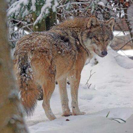wolf, eurasisch, predator, Sony ILCA-77M2