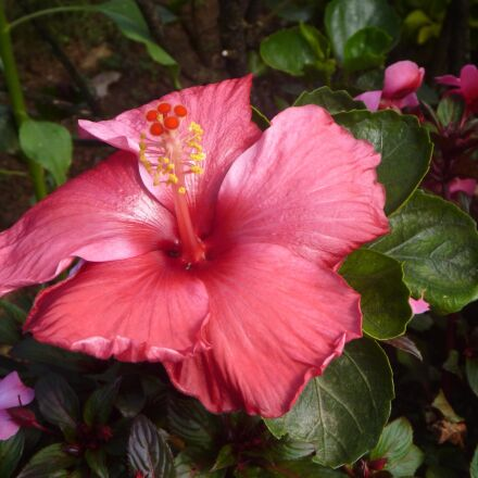hibiscus, red, color, flower, Panasonic DMC-TS2