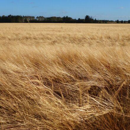 wheat field, windy field, Panasonic DMC-FH4