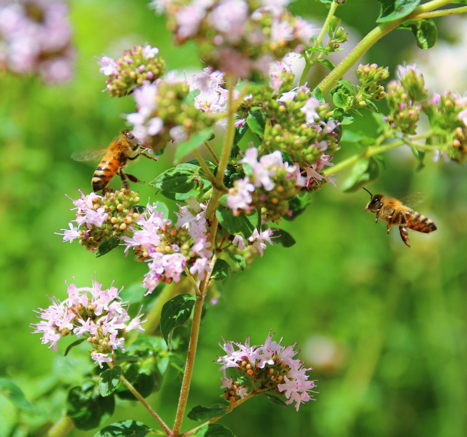 """Canon EOS 70D sample photo. """"Bees, summer, oregano"""" photography"""
