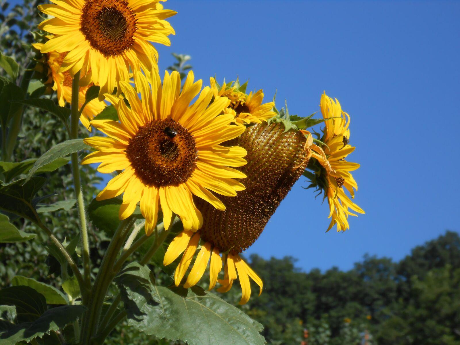 "Nikon Coolpix S4300 sample photo. ""Sunflower, autumn, yellow flower"" photography"