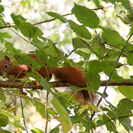 squirrel, tree, branches, Canon EOS 1100D