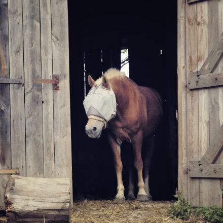animal, barn, brown, domestic, Nikon D70