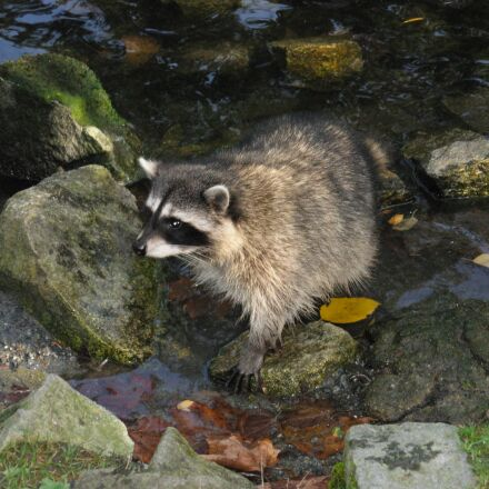 raccoon, nature, animal, Nikon COOLPIX L5