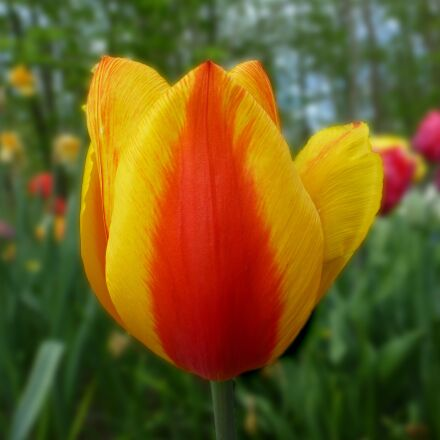 tulip, bi color, spring, Panasonic DMC-TZ31