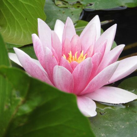 flowers, water lily, pink, Panasonic DMC-LZ30