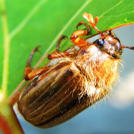 beetle, maikäfer, chafer, Fujifilm FinePix S8100fd
