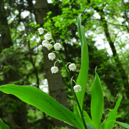 lily of the valley, Nikon COOLPIX B700
