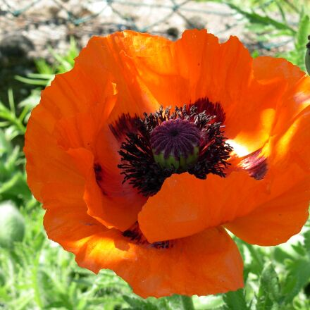 red flower, poppy, papav, Nikon COOLPIX L5