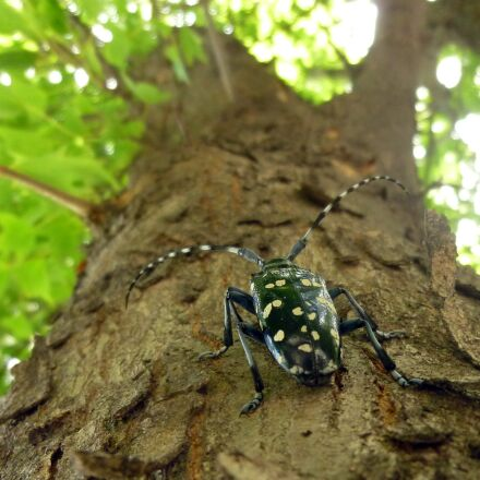 alrak long-horned beetle, insects, Panasonic DMC-ZR1