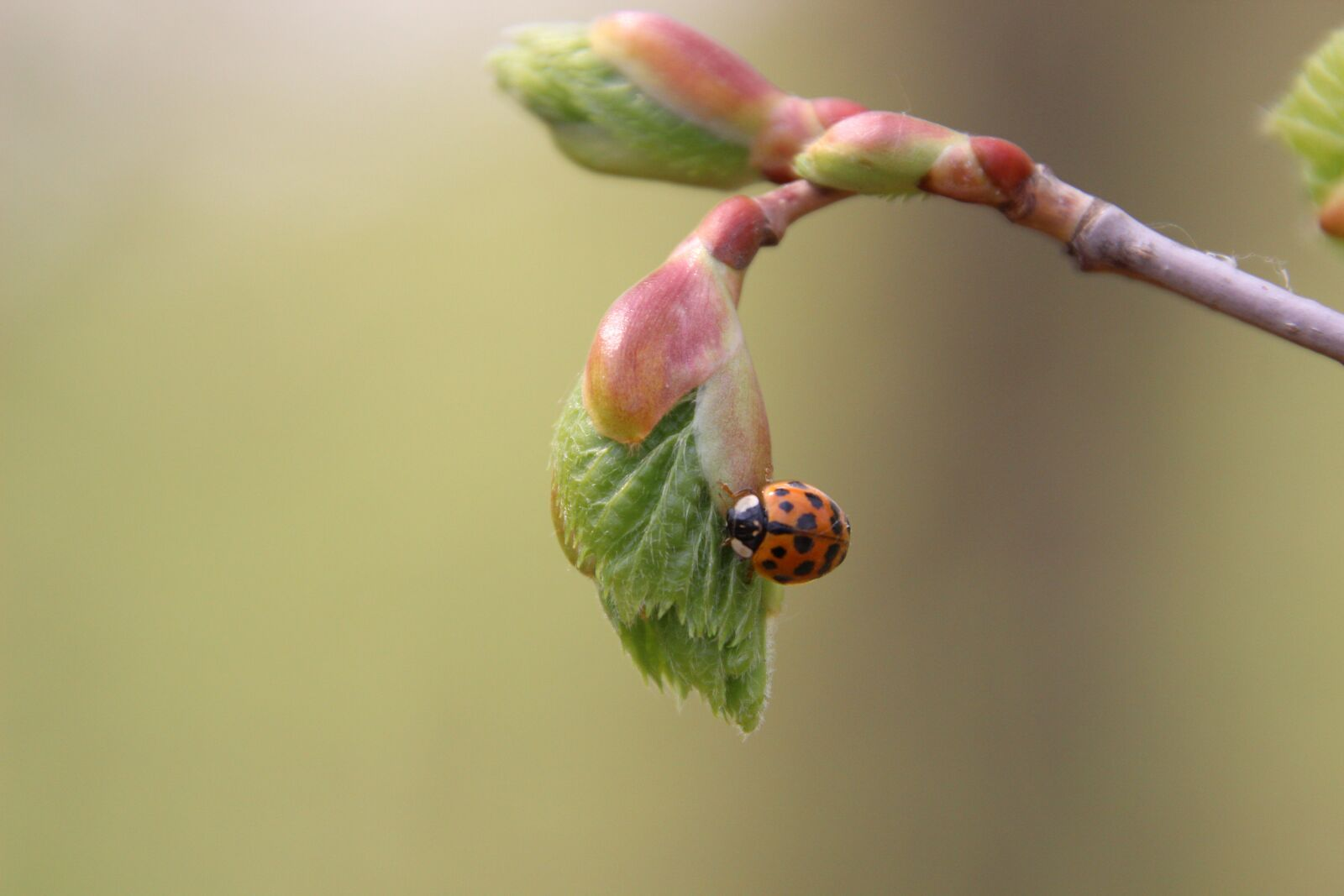 "Canon EOS 600D (Rebel EOS T3i / EOS Kiss X5) sample photo. ""Nature, leaf bud, ladybug"" photography"
