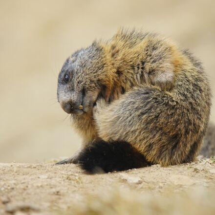 marmot, animal, alpine, Sony ILCE-7M2