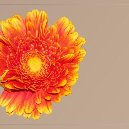 blossom, bloom, gerbera, Canon EOS 1100D