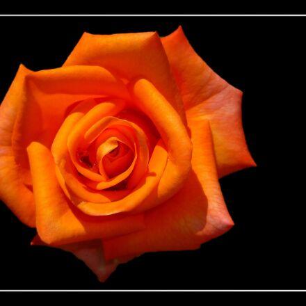 rose, floribunda, rose bloom, Panasonic DMC-FS3