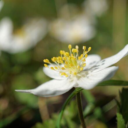 wood anemone, anemone nemorosa, Sony ILCE-6000