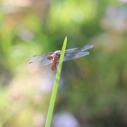 dragonfly, lake, summer, Canon EOS 700D