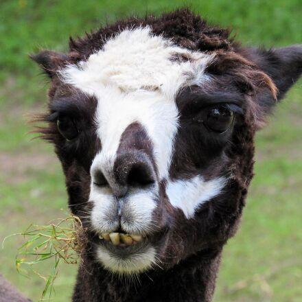 alpaca, wildlife, llama, animal, Canon POWERSHOT SX520 HS