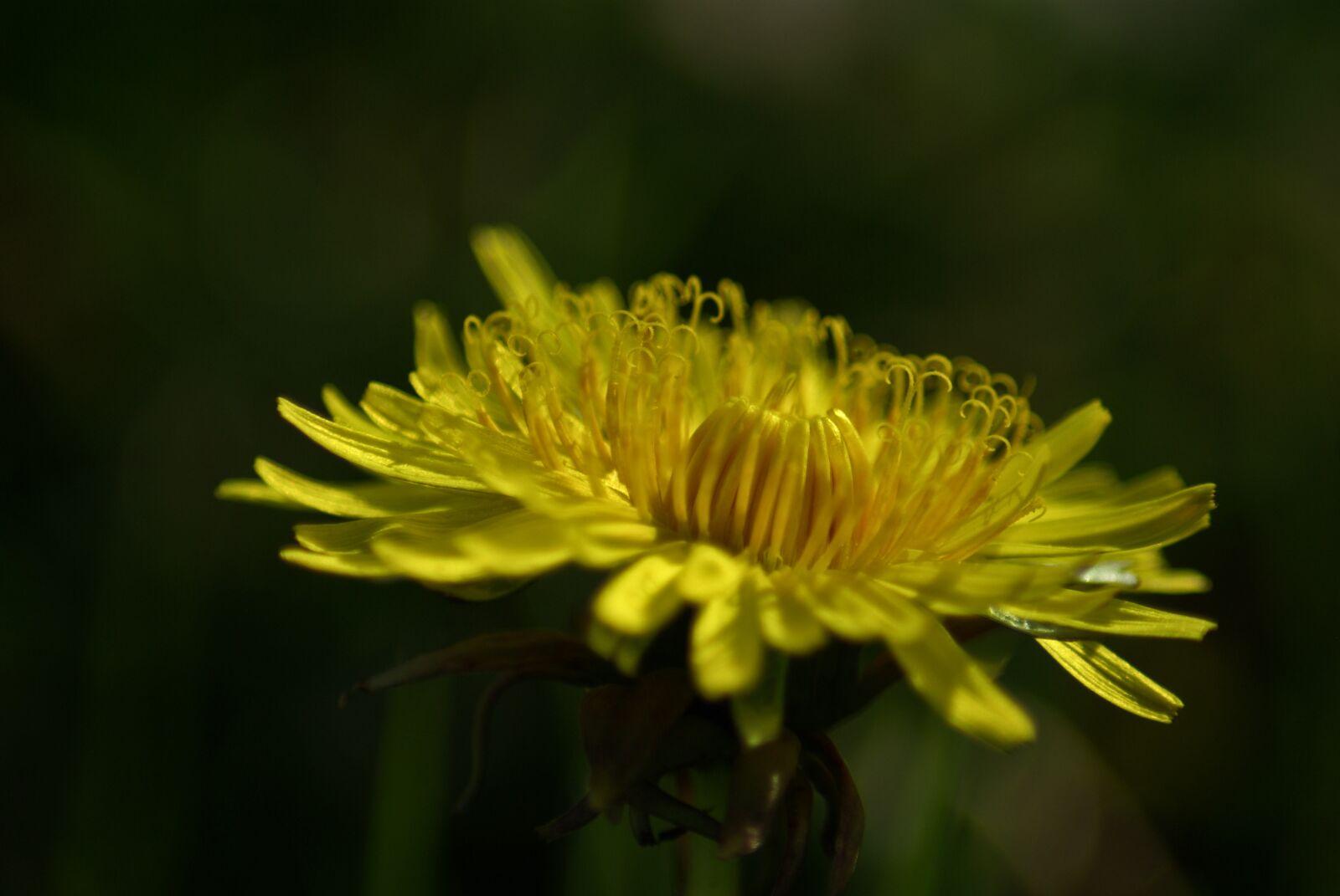 "Pentax K10D sample photo. ""Dandelion, pistil, yellow"" photography"